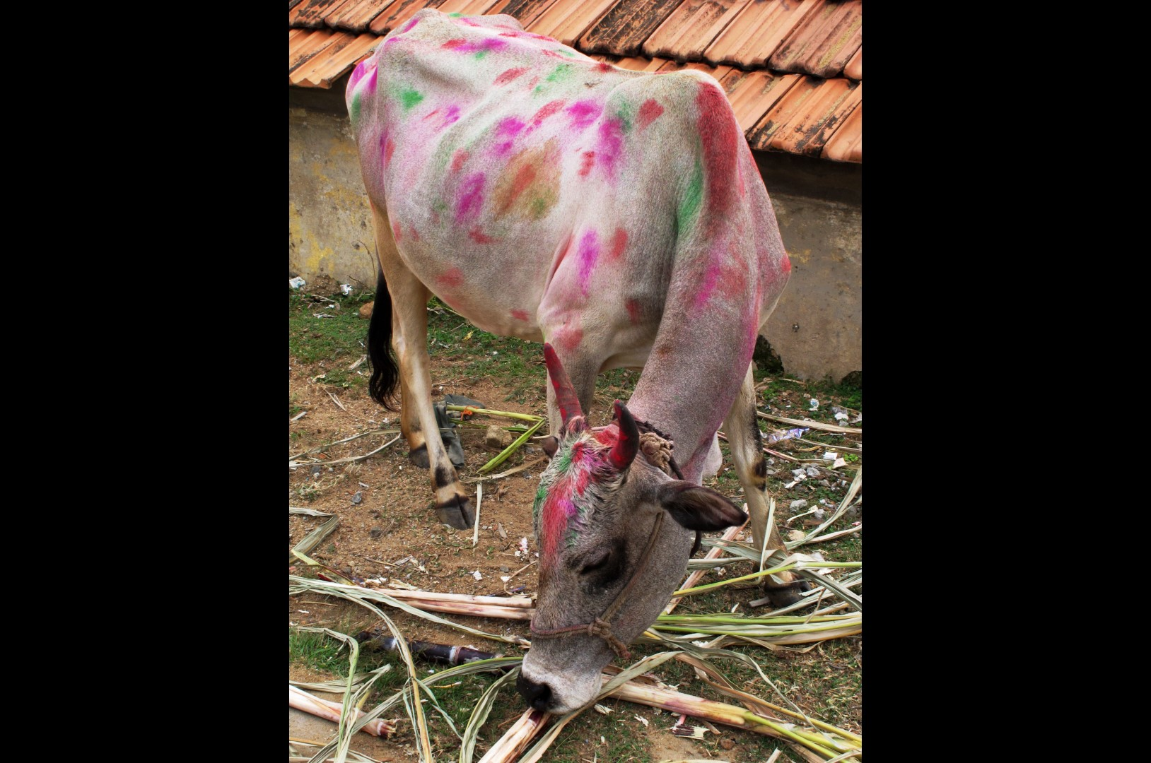 Cows are honoured during Matu Pongal and thus decorated to the hilt